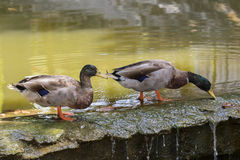Image of two male mallard ducks. Image of two male mallard ducks standing on the rock Royalty Free Stock Photos