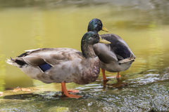 Image of two male mallard ducks. Stock Images
