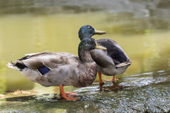 Image of two male mallard ducks. Standing on the rock Royalty Free Stock Photo