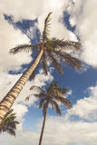 An image of two nice palm trees in the blue sunny sky Royalty Free Stock Photography