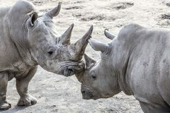 Image of two rhinos in friendly shape royalty free stock photo