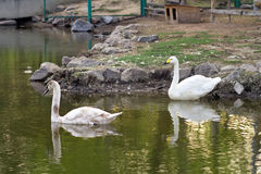 Image of two swans Stock Photography