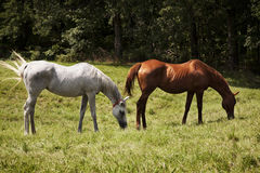 Image of two thoroughbred horses eating on a green meadow. Grey  and chestnut thoroughbred horses Royalty Free Stock Image
