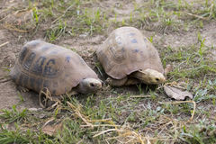 Image of a two turtle on the ground. Geochelone sulcata. Reptile Stock Image