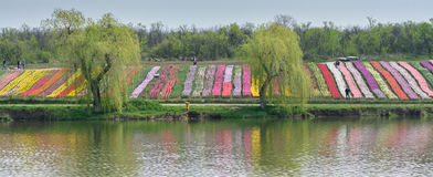 Image with two willows, carpets of flowers and lake. Weeping wil. Low with long branches hanging over the lake water Stock Images