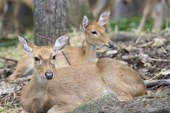 Image of two young sambar deer relax. Royalty Free Stock Image