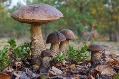 Image unique d'une grande famille de six champignons de scabrum de Leccinum de boletes de bouleau, connue sous le nom de bolete r image libre de droits