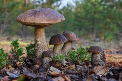 Image unique d'une grande famille de six champignons de scabrum de Leccinum de boletes de bouleau, connue sous le nom de bolete r photographie stock