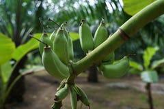Image of unripe bananas growing. Phuket, Thailand Royalty Free Stock Images