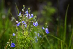 Image with Veronica. Flower Veronica on a summer meadow royalty free stock photos