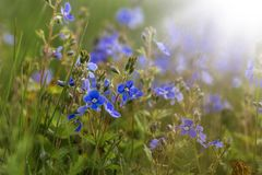 Image with Veronica. Flower Veronica on a summer meadow stock photo