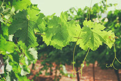Image of Vineyard landscape. vintage filtered. Stock Image