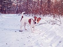 Puzzled puppy of the breed Jack Russell Terrier is on the trail in the winter forest and turns his head back. An image of a walk with pets in the woods and an stock photo