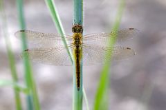 Image of Wandering Glider dragonflyPantala flavescens. Image of Wandering Glider dragonflyPantala flavescens on nature background. Insect. Animal Stock Photo