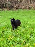 Black Cat Staring into The Distance royalty free stock photo