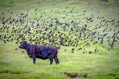 Friendly Birds Flying Over Cow Central California. This image was taken in Central California during Spring 2018 royalty free stock photography