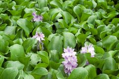 Image of water Hyacinth in the pond Royalty Free Stock Image