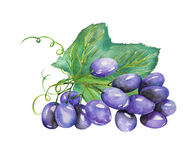 Image of the watercolor bunch of blue grapes. Painted hand-drawn in a watercolor Stock Photography
