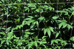 Marijuania With Netting Royalty Free Stock Photography