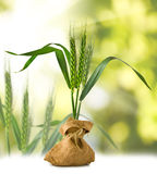 Image of wheat in a sack on a green background closeup Stock Images