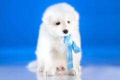 Image of whelp Samoyed breed Stock Images