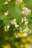Image of white berries on tree close-up Royalty Free Stock Photos