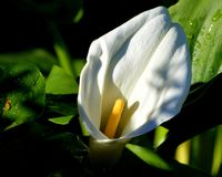 White Calla Lily with backlighting. An image of a white calla lily with backlighting and yellow center Stock Photos