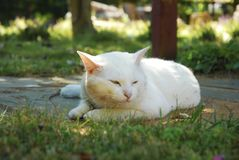 A white cat resting on the backyard. An image of a white cat resting on the backyard Royalty Free Stock Photo