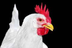 Image of a white chicken poultry Royalty Free Stock Photos