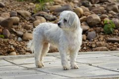 Image of white dog on nature background. Pet.  Royalty Free Stock Photo