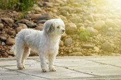 Image of white dog on nature background. Pet.  Royalty Free Stock Image