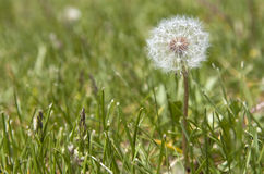 Image of white dry dandelion closeup on grass Royalty Free Stock Photos