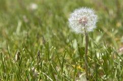Image of white dry dandelion closeup on grass Royalty Free Stock Photos