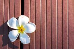 White Plumeria Flower in Wood Texture Background royalty free stock photos