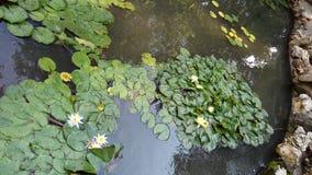White Lotus flowers in garden lake. Image of White Lotus flowers and water plants in garden lake shore outdoor royalty free stock photos