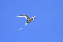 White-tailed tropic bird flying Royalty Free Stock Images