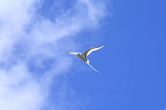 White-tailed tropic bird hovering overhead Royalty Free Stock Images