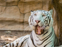 Image of a white tiger on nature background. Royalty Free Stock Images