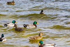 Wild drake and ducks sailing along the river Royalty Free Stock Photo