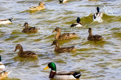 Wild drake and ducks sailing along the river Royalty Free Stock Images