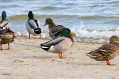 Wild duck on the river bank with ice Royalty Free Stock Photography