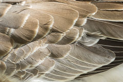 Image of an wing goose. Royalty Free Stock Photo