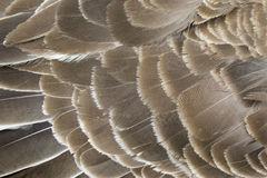 Image of an wing goose. Stock Image