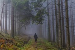 Image of a woman walking among tall pine trees with a lot of fog in the forest royalty free stock image
