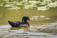 Image of a wood duck on the water. Stock Photos