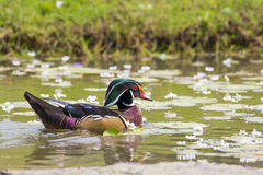 Image of a wood duck on the water. Royalty Free Stock Images
