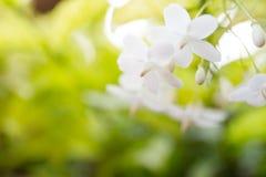 Religiosa. Image of the Wrightia religiosa flower close up Royalty Free Stock Photography