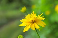 The image of a yellow chrysontemum flower. royalty free stock photography
