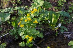 Image of yellow spring flowers called Marsh-marigold on the banks of the creek. Caltha palustris. stock photos