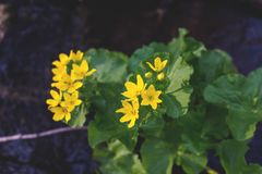 Image of yellow spring flowers called Marsh-marigold on the banks of the creek. Caltha palustris. royalty free stock images